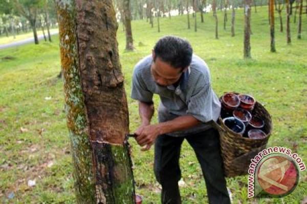 Harga Karet Barito Utara Anjlok Dalam 4 Bulan Terakhir
