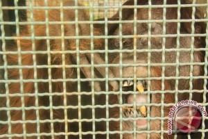 TNTP Berhasil Jalankan Program Pelepasliaran Orangutan Di Seruyan
