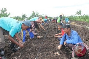 4 Desa di Sukamara Sedang Budidayakan Bawang Merah