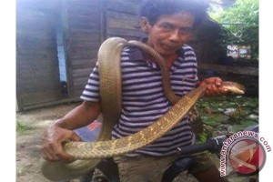 Tangkapan Ular King Kobra