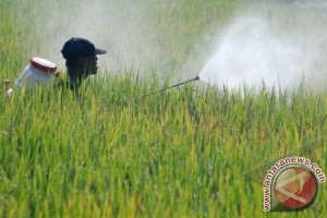 Petani Seruyan Kesulitan Pasarkan Hasil Panen Padi