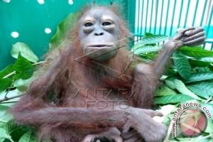 Waduh! 3 Ribu Orangutan Barito Selatan Terancam Punah