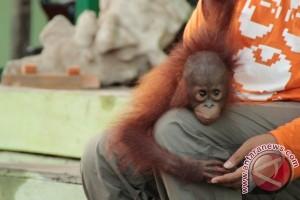 BKSDA Amankan Orangutan dari Warga Seruyan