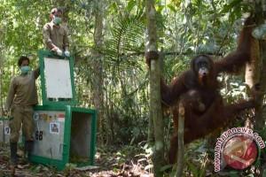 12 Orangutan Dilepasliarkan Ke Bukit Baka Kalteng
