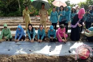 Kabupaten Kapuas Terima 6000 Bibit Cabai Gratis