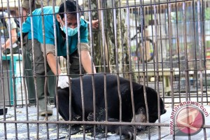 Masuk Kepemukiman Penduduk! Beruang Ancam Keselamatan Warga Desa Garantung
