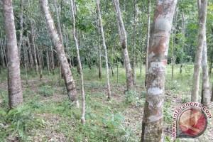 Harga Karet di Barito Timur Turun Jadi Rp 9.000 Per Kilogram