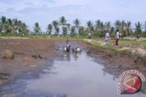 Seruyan Ingin Kembangkan Padi Tahan Air Asin
