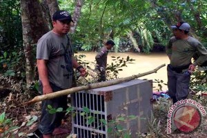 Hampir 10 Tahun Dikandang, Akhirnya Sepasang Musang Dilepas di Cagar Alam Pararawen