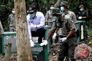 Ternyata! Populasi Orangutan Kalteng Menurun 10 Persen Tiap Tahunnya?