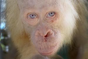 BOSF Nyaru Menteng Pastikan Orangutan Berkulit Putih Adalah Albino