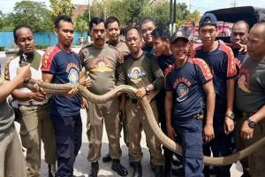 """Keren! Satpol PP Kapuas Berhasil Tangkap Ular """"King Cobra"""""""