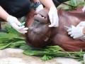 Pelepasliaran Orangutan ke Taman Nasional Katingan