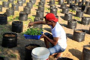 Gumas Tanam Cabai Rawit 10 Hektare  Dibantu APBN