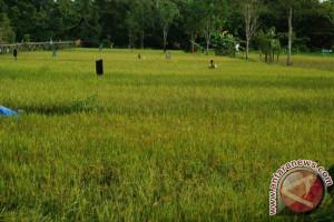 Barito Utara Targetkan Tanam Padi 10.750 Hektare