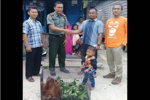 Anak Orangutan Ditemukan Warga di Kebun Sawit