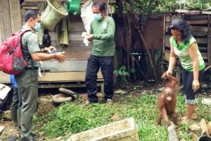 Tetes Air Mata Iringi Kepergian Bayi Orangutan Langkis