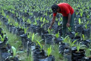 Peremajaan Kelapa Sawit Dimulai Presiden, Tahun Depan Dicek Lagi