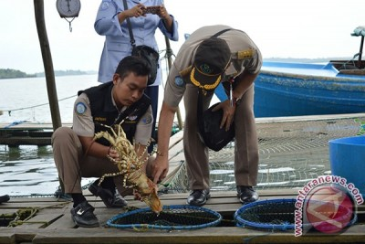 KKP Lepas Liarkan Lobster di Bintan