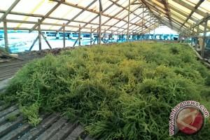Warga Sulit Pasarkan Hasil Panen Rumput Laut