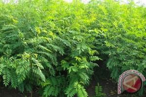 Lingga Bangun Perkebunan Indigofera Dukung Investasi Peternakan