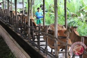 Tanjungpinang Siapkan 626 Ekor Sapi Layak Kurban
