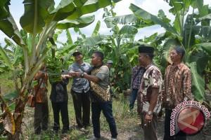Petani Bukit Belah Sulit Pasarkan Pisang