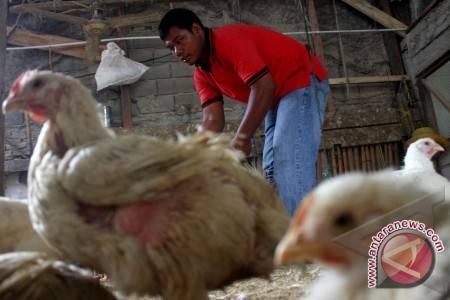 Pengusaha Ayam Petelur Butuh Modal Usaha