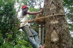 Harga Getah Damar Di Lampung Barat Stabil