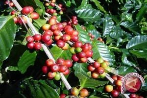 Sulteng kembangkan kopi Lampung