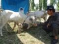 Peternak Lampung memberi makan ternak kambing jenis unggul. Menjelang Idul Adha harga ternak melonjak, dan kesehatan ternak juga harus dijaga agar daging yang dikonsumsi masyarakat benar-benar sehat. (Foto ANTARA/M.Tohamaksun).