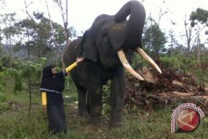 Gajah Sumatera Diminati Istri Kasal Brunie