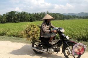 Panen mulai berlangsung, harga beras stabil