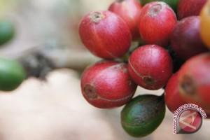 Bukan kopi Lampung, ternyata kopi Bengkulu yang terbaik