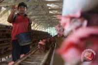 Produksi Telur Di Waykanan Stabil