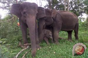 190 Gajah Mati Karena Kekurangan Air