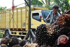 Produksi Sawit Lampung Turun Tajam
