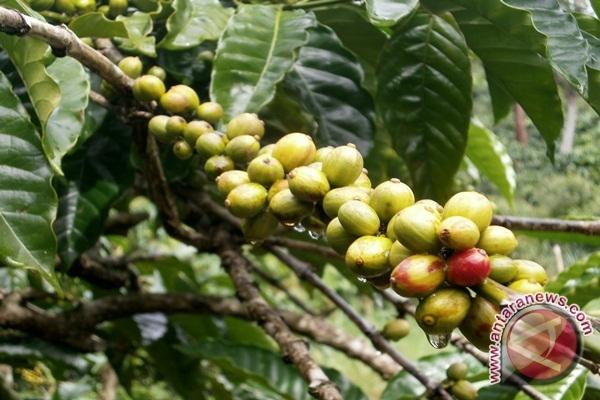 ASKL: Produksi Kopi Lampung Anjlok