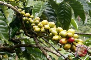 Panen kopi di Lampung diperkirakan naik
