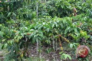 Petani Karimun antusias belajar budi daya kopi
