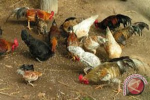 Harga Ayam Kampung di Bandarlampung Masih Tinggi