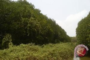 Warga Muara Gading Gigih Pelihara Mangrove