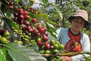 Kopi organik Lampung makin diminati