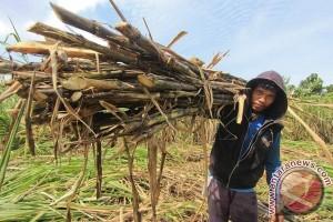 Pemerintah seharusnya serap gula petani