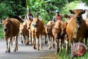 Lampung sentra peternakan sapi, harga daging  tetap tinggi
