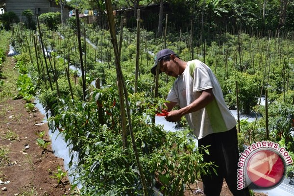 Produksi Cabai Merah Lampung 34.821 Ton