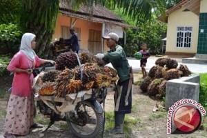 Harga sawit dan karet anjlok, petani ganti singkong