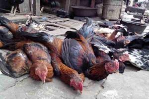 Harga Ayam Kampung Turun