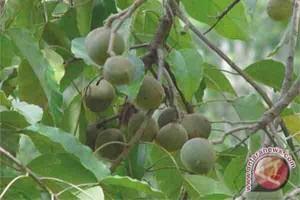 Petani Lampung Tengah Potensial Kembangkan Kemiri