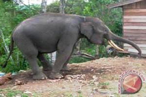Gajah di Nepal pun ambil cuti